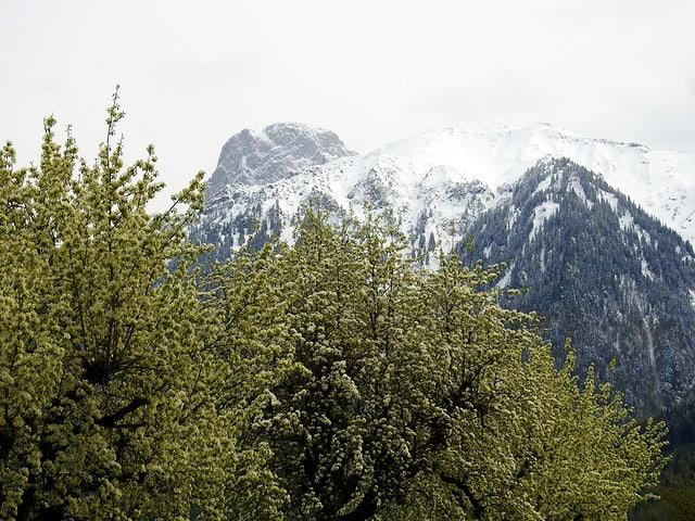 Grüne Bäume, im Hintergrund verschneite Berge.