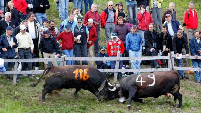 Zwei Eringerkühe vor interessierten Zuschauern am Stechfest in Veysonnaz.