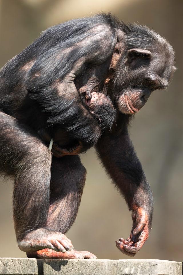 Schimpansen-Mama trägt Baby.