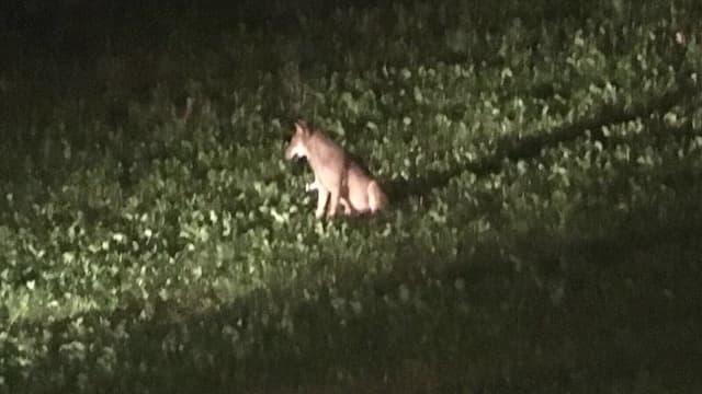 Wolf im Scheinwerferlicht