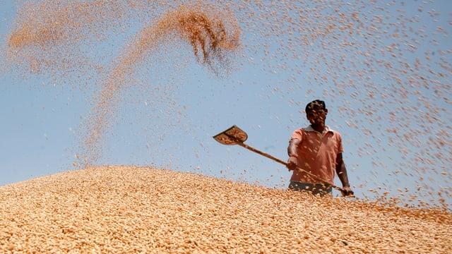 Ein Mann steht hinter einem Berg Weizen und schaufelt, wirbelt das Getreide in die Luft.