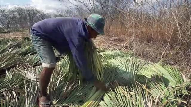 Sklavenarbeit unter Palmen