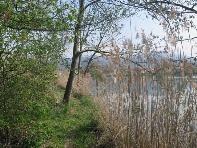Fussweg am Rhein mit Schilfstauden, man sieht auf der anderen Seite die Häuser von Wallbach Deutschland.