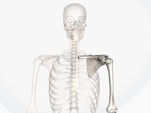 Skelett mit hervorgehobenem Schultergelenk