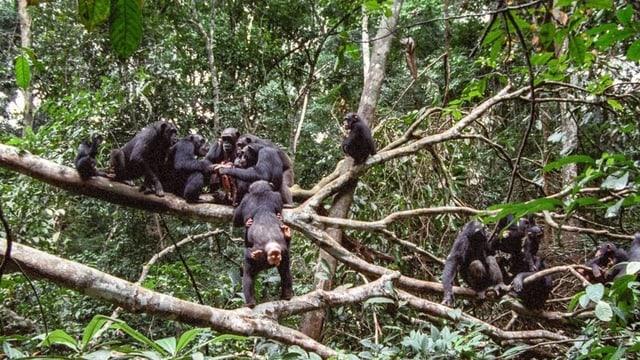 Schimpansen teilen im Urwald nach der Jagd das Fleisch eines roten Stummelaffen untereinander auf.