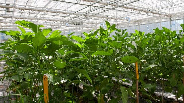 Pflanzen, die in einem Gewächshaus gedeihen.