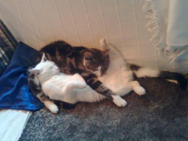 Eine weisse und eine dreifarbige Katze liegen eng umschlungen auf dem Boden.