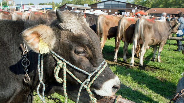 Stiere und Rinder am Stierenmarkt in Zug.