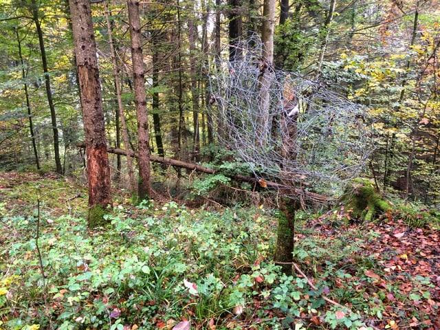 Stacheldraht wurde im Wald vergessen.