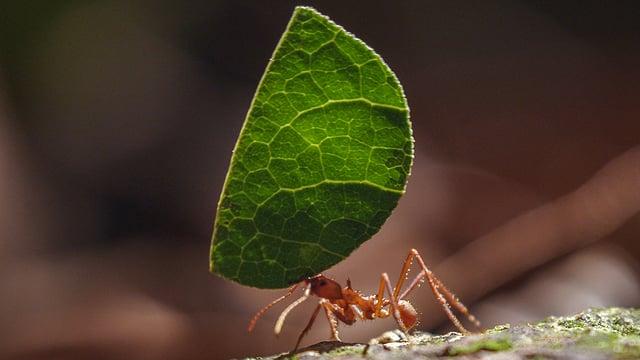 Eine Blattschneiderameise trägt ein grünes Blatt.