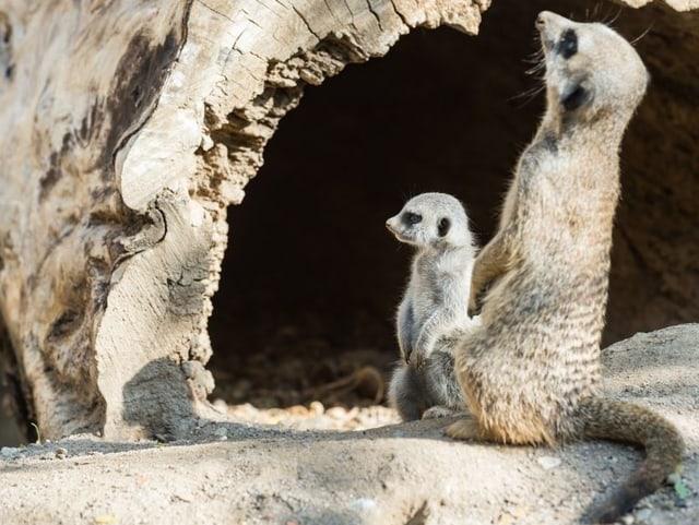 Zwei Erdmännchen im Basler Zoo.