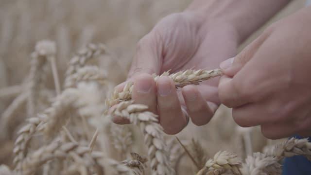 Video «Superpflanzen: Gen-Revolution in der Landwirtschaft» abspielen