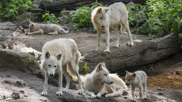 Weisse Wölfe in Kanada.