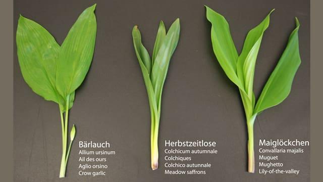 Das Blattgrün von drei ähnlich aussehende Pflanzen nebeneinander.