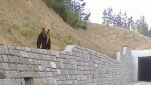 Bär M25 auf einer Mauer