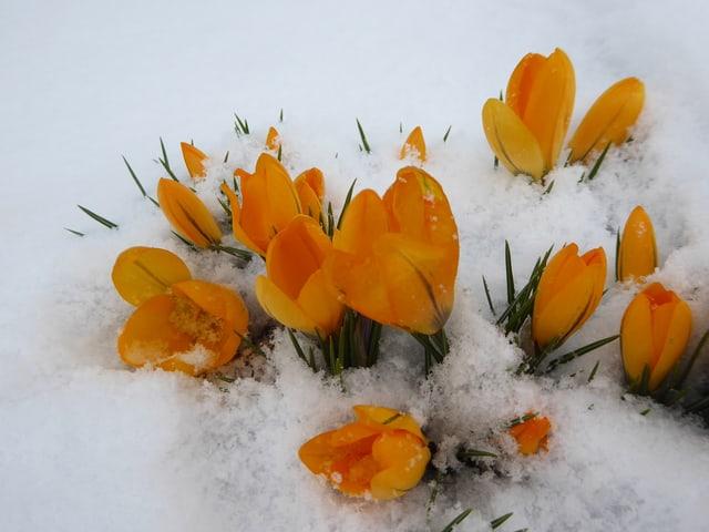 Orange Krokusse im Schnee