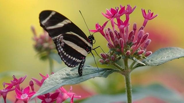 Ein Schmetterling im Papiliorama in Kerzers.