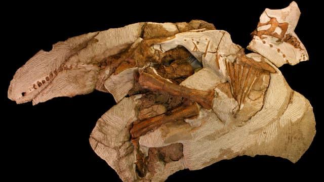 Knochen eines Dinosauriers der Gattung Parasaurolophus, ein 17-Jähriger hatte diesen vor vier Jahren in den USA gefunden.