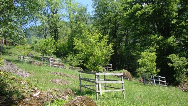 Ein Kastanienhain mit Kastanienbäumen in Weggis.