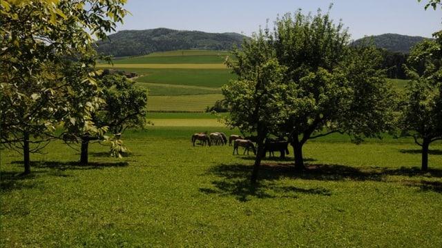 Pferde am Weiden