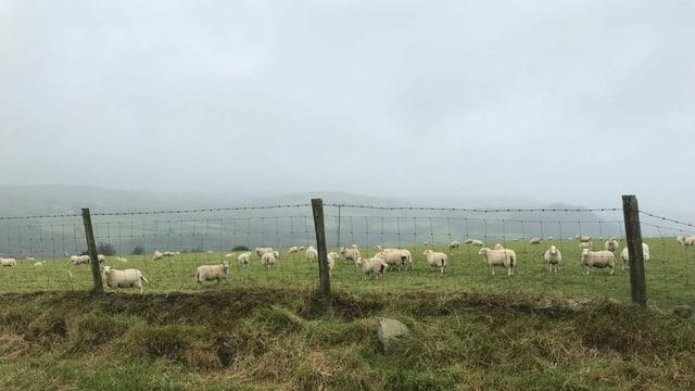 Schafherde hinter einem Zaun.