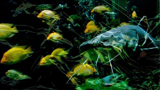 Wels und andere Fische unter Wasser.