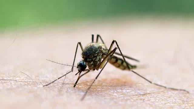 Eine Nahaufnahme einer Mücke, die Blut aus einem Menschlichen Körperteil saugt.