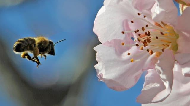 Eine Biene fliegt auf eine Mandelblüte zu.