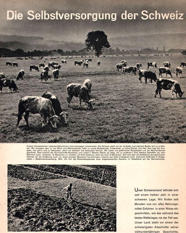 Kühe auf dem Feld