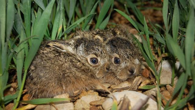 Zwei wenige Tage alte Junghasen schmiegen sich im Weizenfeld an den Boden, um nicht entdeckt zu werden.