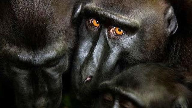 Drei Affenköpfe, einer schaut den Betrachter an.