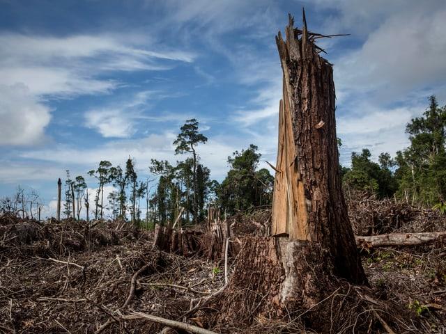 Zerstörter Lebensraum der Orang-Utans in Borneo