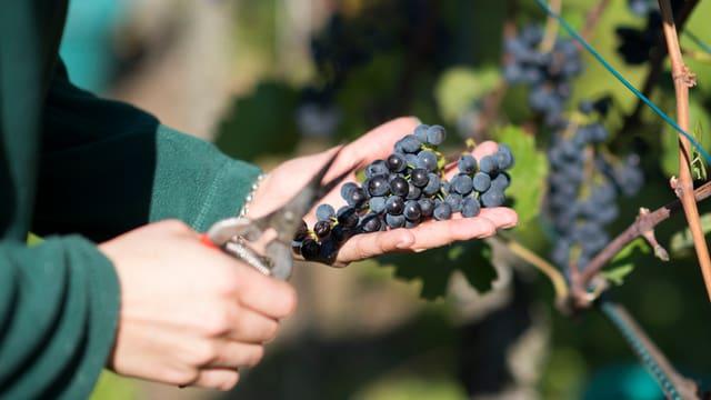 Ina persuna cun ina forsch taglia ivas blauas durant la vendemia