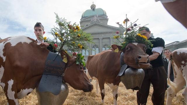 Zwei Kühe vor dem Hintergrund des Bundeshauses.