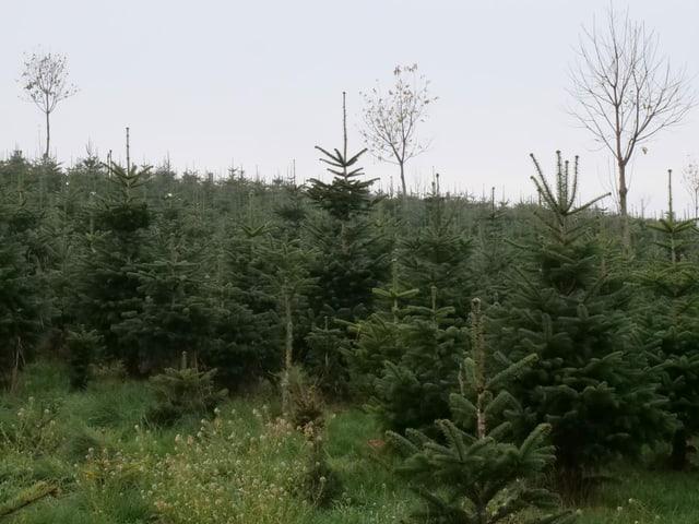Tannenbäume auf einem Feld
