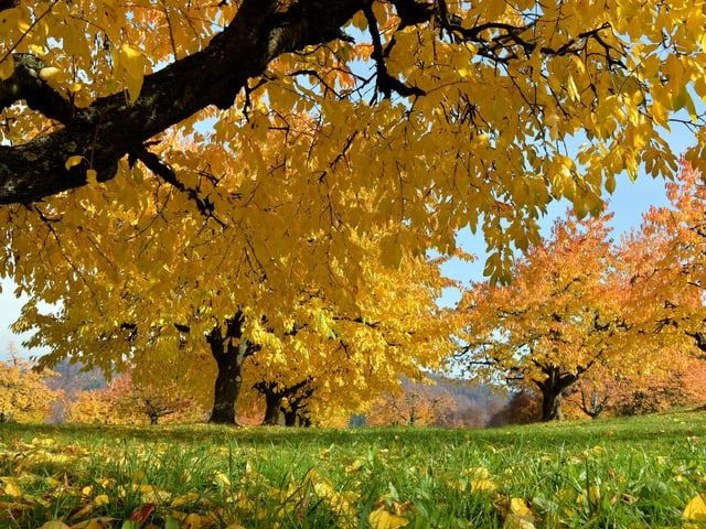 Goldverfärbung der Blätter .