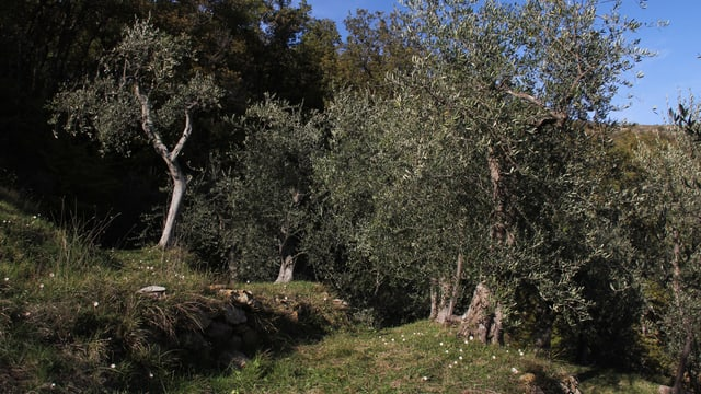 Terrasierte und verwilderte Olivenhaine in Ligurien.