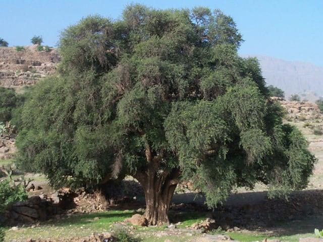 Der Arganbaum kommt im südwestlichen Marokko und südöstlichen Algerien vor.