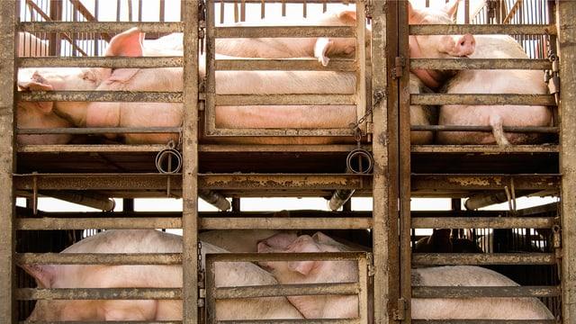 Mehrstöckige Käfige mit Schweinen, die übereinander liegen müssen.