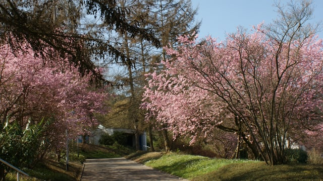 Blühende Sträucher in Spreitenbach