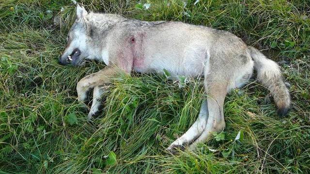 Ein toter Wolf auf einer Wiese.