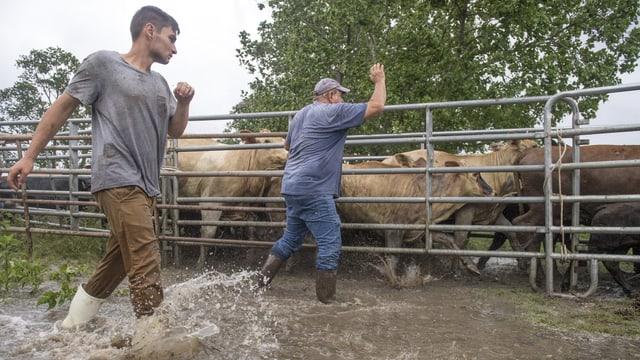 Zwei Bauern mit ihren Rindern