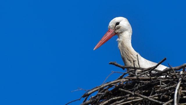 Storch im Nest.