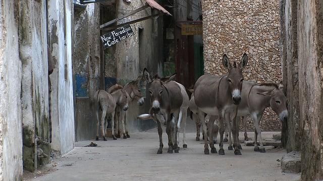 Video «GEOlino: Lamu, die Insel der Esel (7/10)» abspielen