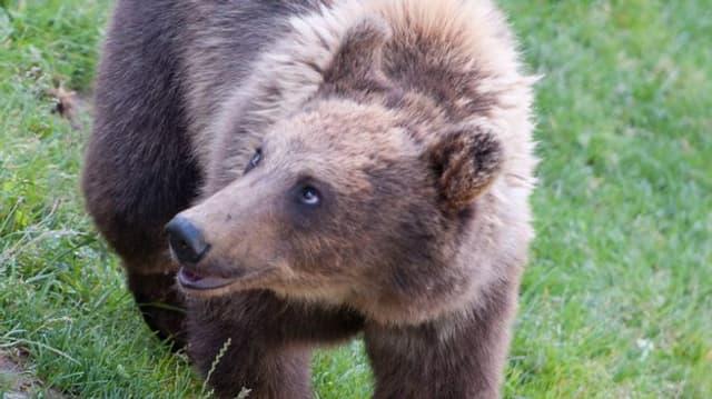 L'urs fotografà eb Val Bregalia ha in pail da colur dal tuttafatg brin clera.
