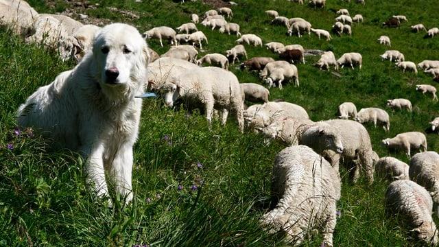 Hund und Schafe