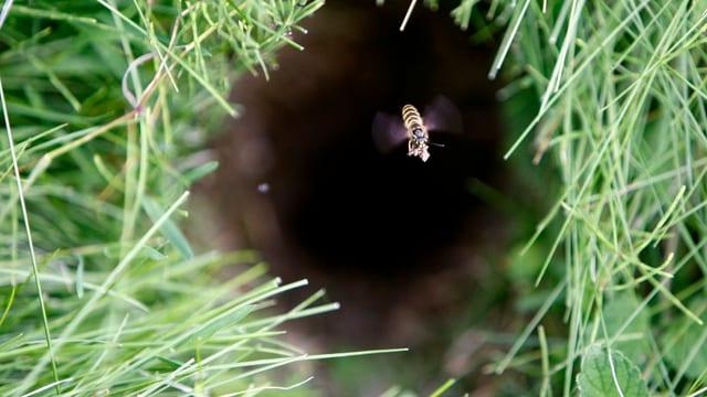 Eine Wespe fliegt aus einem Bau