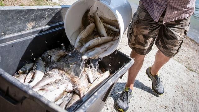 Jemand kippt einen Kessel voll tote Fische in eine Sammeltonne