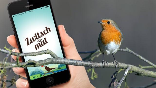 Ein Rotkehlchen schaut auf ein Smartphone, auf dessen Bildschirm die App «Zwitsch-o-mat» zu sehen ist.