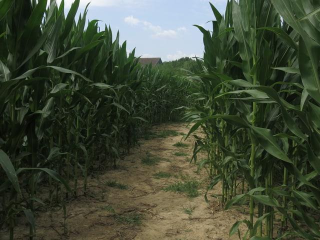Weg im Maislabyrinth, daneben Maispflanzen.